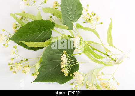Studio shot of linden flowers over white background. Large-leaved Linden, Tilia platyphyllos - Stock Photo
