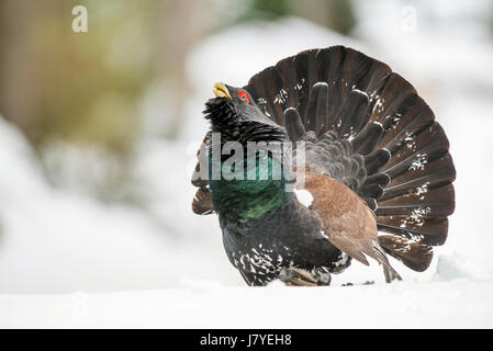 Capercaillie (Tetrao urogallus) during courtship in forest, Winter, Berchtesgadener Land, Bavaria, Germany - Stock Photo