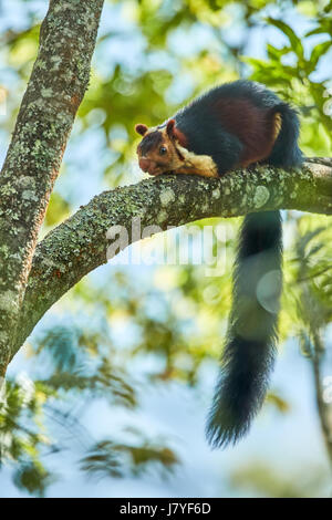 Indian Giant Squirrel or Malabar giant squirrel, (Ratufa indica)  sitting on branch and feeding on fruit berries - Stock Photo