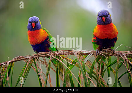 Rainbow Lorikeet (Trichoglossus haematodus), animal couple sitting on reed, Cuddly Creek, South Australia, Australia - Stock Photo
