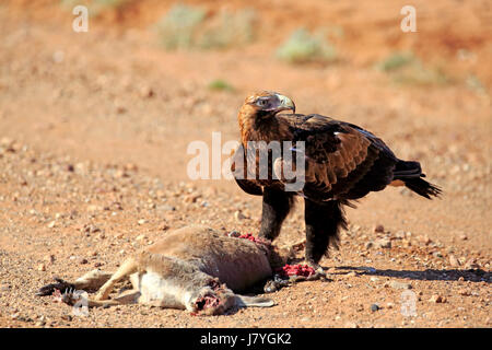 Wedge-tailed eagle (Aquila audax), adult at prey, Sturt National Park, New South Wales, Australia - Stock Photo