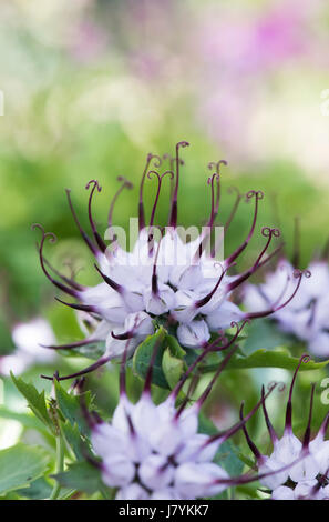 Physoplexis comosa . Tufted horned Rampion flowers - Stock Photo
