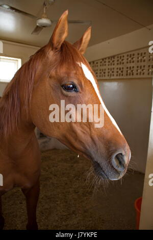 An Arabian thoroughbred horse in a stall of the Racing & Equestrian Club of Doha, Qatar - Stock Photo