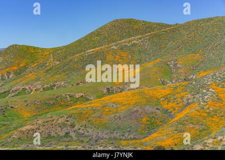 Poppy flower blossom near Lake Elsinore, California - Stock Photo