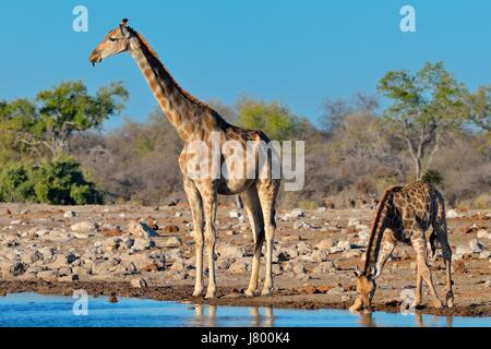 Namibian giraffes or Angolan giraffes (Giraffa camelopardalis), mother with young drinking at waterhole, Etosha - Stock Photo