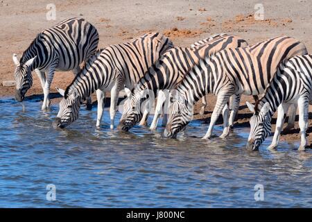 Herd of Burchell's zebras (Equus quagga burchellii), drinking at waterhole, Etosha National Park, Namibia, Africa - Stock Photo