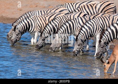 Herd of Burchell's zebras (Equus quagga burchellii) and Black-faced impala (Aepyceros melampus petersi), drinking - Stock Photo