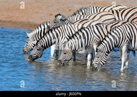 Herd of Burchell's zebras (Equus quagga burchellii) with zebra foal drinking at waterhole, Etosha National Park, - Stock Photo