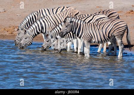Herd of Burchell's zebras (Equus quagga burchellii) drinking at waterhole, Etosha National Park, Namibia, Africa - Stock Photo
