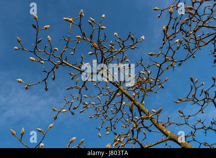 Buds on a Magnolia tree against a blue sky - Stock Photo