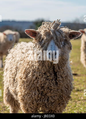 Cotswold Rare breed sheep grazing in spring sunshine - Stock Photo
