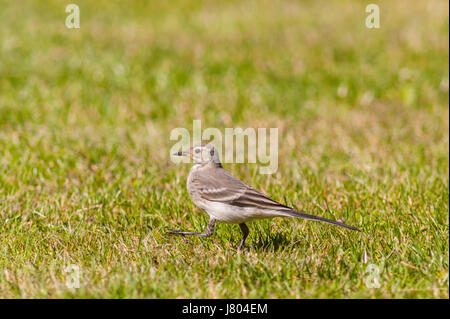 A young Pied wagtail (Motacilla alba) in the Uk - Stock Photo