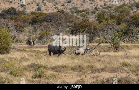 Black Rhino mother and six month old calf in Southern African savanna - Stock Photo