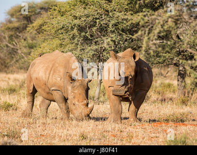 two White Rhino in Southern African savanna - Stock Photo