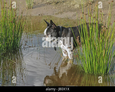 Small boston terrier standing in pond - Stock Photo