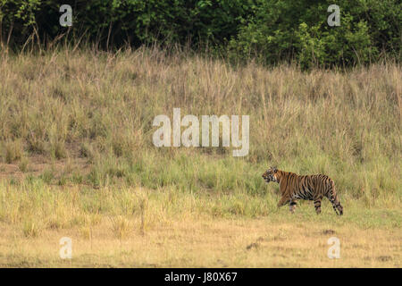 Tiger walking in Grass - Stock Photo