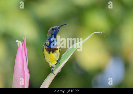 Colourful male olive-backed sunbird (Cinnyris jugularis) perching on a leaf looking to the right after feeding on - Stock Photo