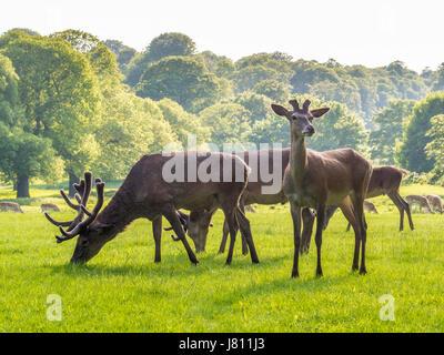 Red Deer, Wollaton Park, Nottingham, UK. - Stock Photo