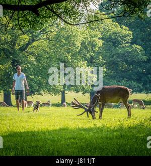Man with dog barking at Red Deer, Wollaton Park, Nottingham, UK. - Stock Photo