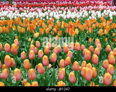 Vibrant Color Blooming Two-Tone Tulip Flowers in Keukenhof Garden in Lisse, The Netherlands - Stock Photo