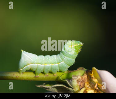 Caterpillar of the Copper Underwing moth feeding on a cultivated rose - Stock Photo