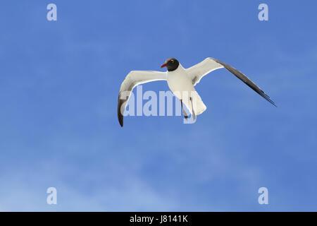 A Laughing Gull, Leucophaeus atricilla, Wildwood Crest, NJ - Stock Photo