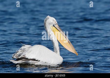 Dalmatian pelican (Pelecanus crispus) adult in breeding pluimage swimming on water in Danube delta, Romania - Stock Photo