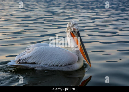 Dalmatian pelican (Pelecanus crispus) shot at sunrise at lake Kerkini in Greece - Stock Photo
