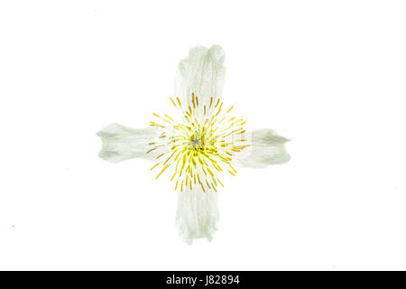 Translucent cross or cruciform shape on the white and yellow bloom of a climbing plant - Stock Photo