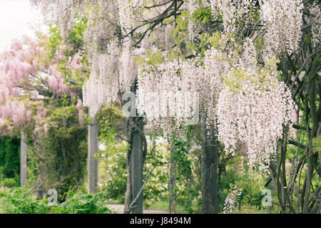 White and pink wistera growing on a pergola. - Stock Photo