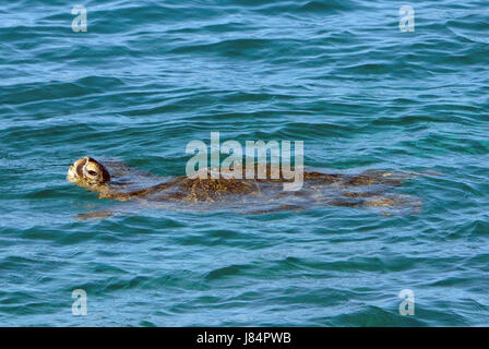 A Green Sea Turtle swimming of the coast of Maui. Hawaii - Stock Photo