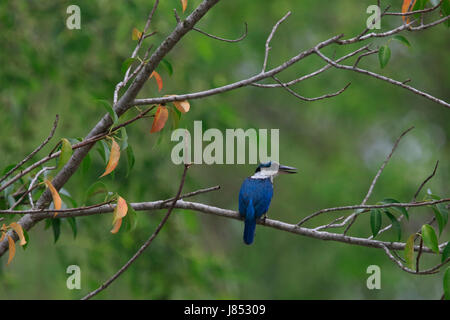 Collared kingfisher (Todiramphus chloris) in the world largest mangrove forest Sundarbans, famous for the Royal - Stock Photo