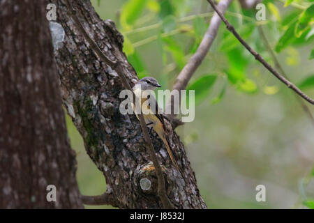 Small minivet (Pericrocotus cinnamomeus) in the world largest mangrove forest Sundarbans, famous for the Royal Bengal - Stock Photo