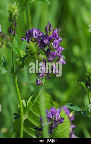 Prächtig plant luzerne medicago sativa wildpflanze bltenpflanze pflanze &SR_21