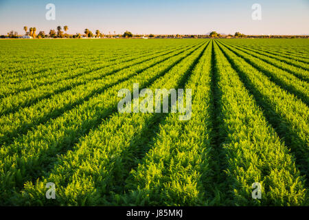 A green field of row crop in the Imperial Valley of California, USA. - Stock Photo