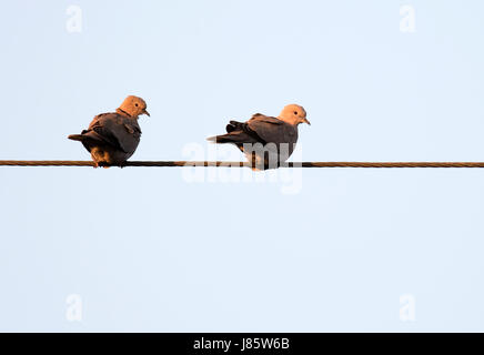 Pair of Collared Doves (Streptopelia decaocto) sat on telephone wire as the sun sets, Warwickshire - Stock Photo