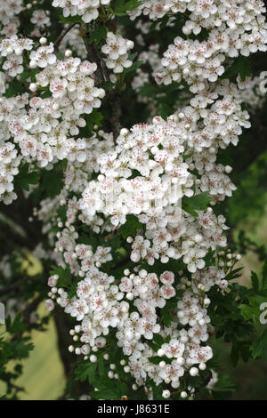 Hawthorn tree (crataegus monogyna), also known as May or whitethorn, in full bloom on Herrock Hill on the Offa's - Stock Photo