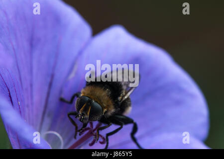 Close-up of bumble bee on a purple Geranium flower in the garden in springtime, England, UK - Stock Photo