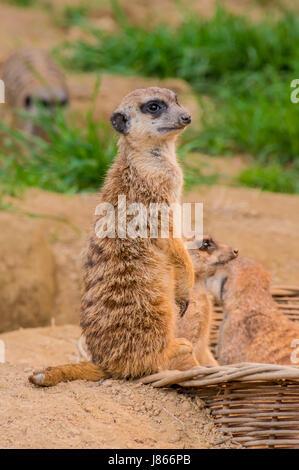 One meerkat or suricat standing on sand - Stock Photo