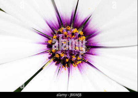 A beautiful white Cape daisy with a purple center covered in yellow pollen on the Greek island of Kefalonia. - Stock Photo