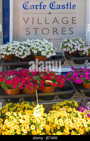 Flowering Calibrachoa Million Bells, trailing pentunias petunia plants outside Corfe Castle Village Stores at Corfe - Stock Photo