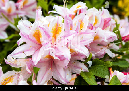 Large cluster of pale pink and yellow azalea flowers in a garden. - Stock Photo