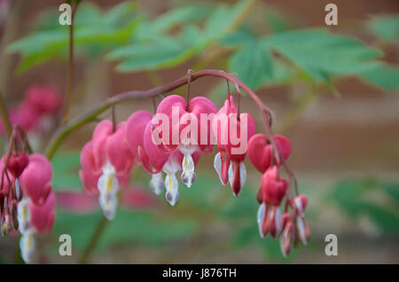 Lamprocapnos spectabilis formally known as Dicentra spectabilis or Bleeding Heart - Stock Photo