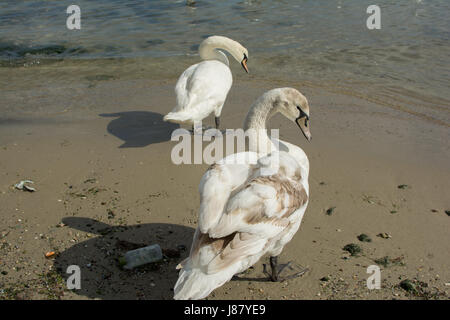 Birds swans white on dirty shore of the Black Sea in Bulgaria. - Stock Photo