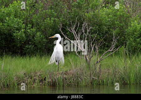 A Great Egret, Ardea alba at the Edwin B Forsythe NWR, New Jersey, USA - Stock Photo
