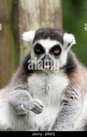 Ring-tailed Lemur at the Cape May County Zoo, Cape May Courthouse, New Jersey, USA
