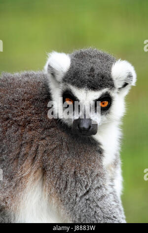 Ring-tailed Lemur at the Cape May County Zoo, Cape May Courthouse, New Jersey, USA - Stock Photo