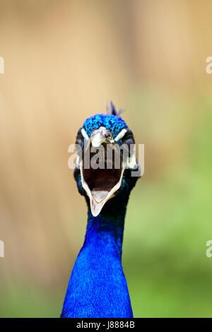 Indian Peacock - Stock Photo