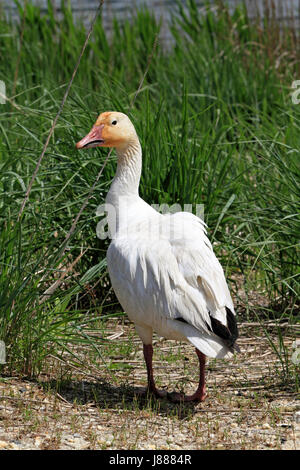 A Snow Goose, Chen caerulescens, at the Edwin B. Forsythe National Wildlife Refuge, New jersey, USA - Stock Photo