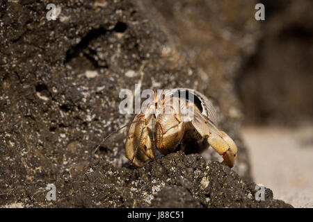 Hermit Crab in Isla de Coiba National Park, Pacific coast, Veraguas province, Republic of Panama. - Stock Photo